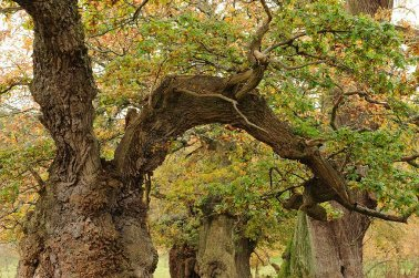 Cadzow Oaks at Chatelherault Country Park