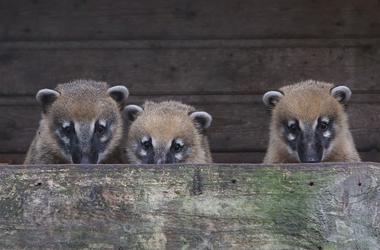 new coatis arrive at Calderglen Zoo