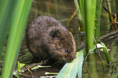 the water vole - the largest of the British voles