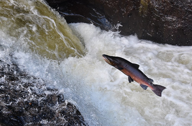 pic credit - Leaping salmon, Malcolm Muir, South Lanarkshire Council